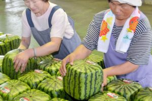 Japan square watermelons