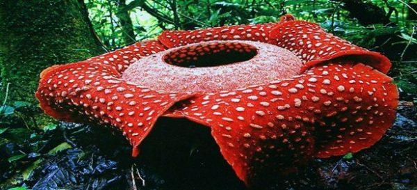 Indonesia facts: flora & fauna