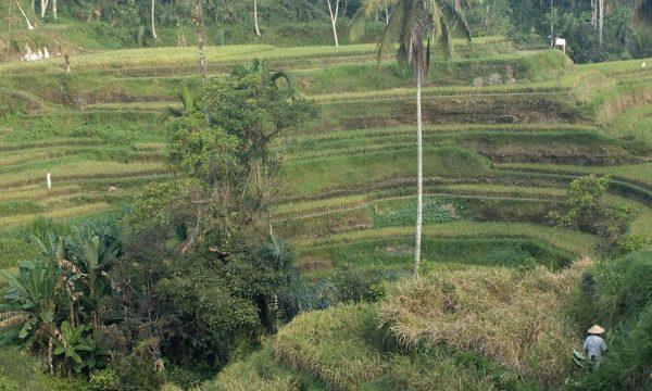 bali_rice_fields_travel_tips