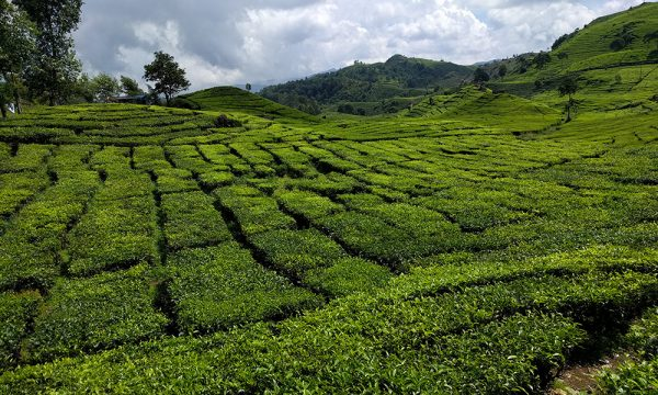 travel_java_indonesia_tea_plantation