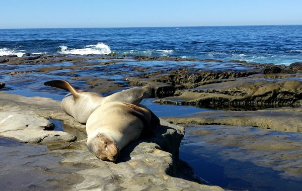 what_to_see_do_short_trip_san_diego_la_jolla_seals