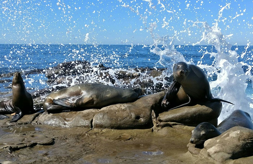 What to see on a short trip to San Diego: La Jolla seals & sea lions